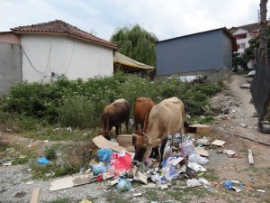 Dumpster cows- a problem in Bajram Curri. No one knows who the owner is so the cows just wander around the city and eat from the dumpsters.