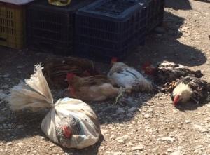 Fresh chickens anyone?